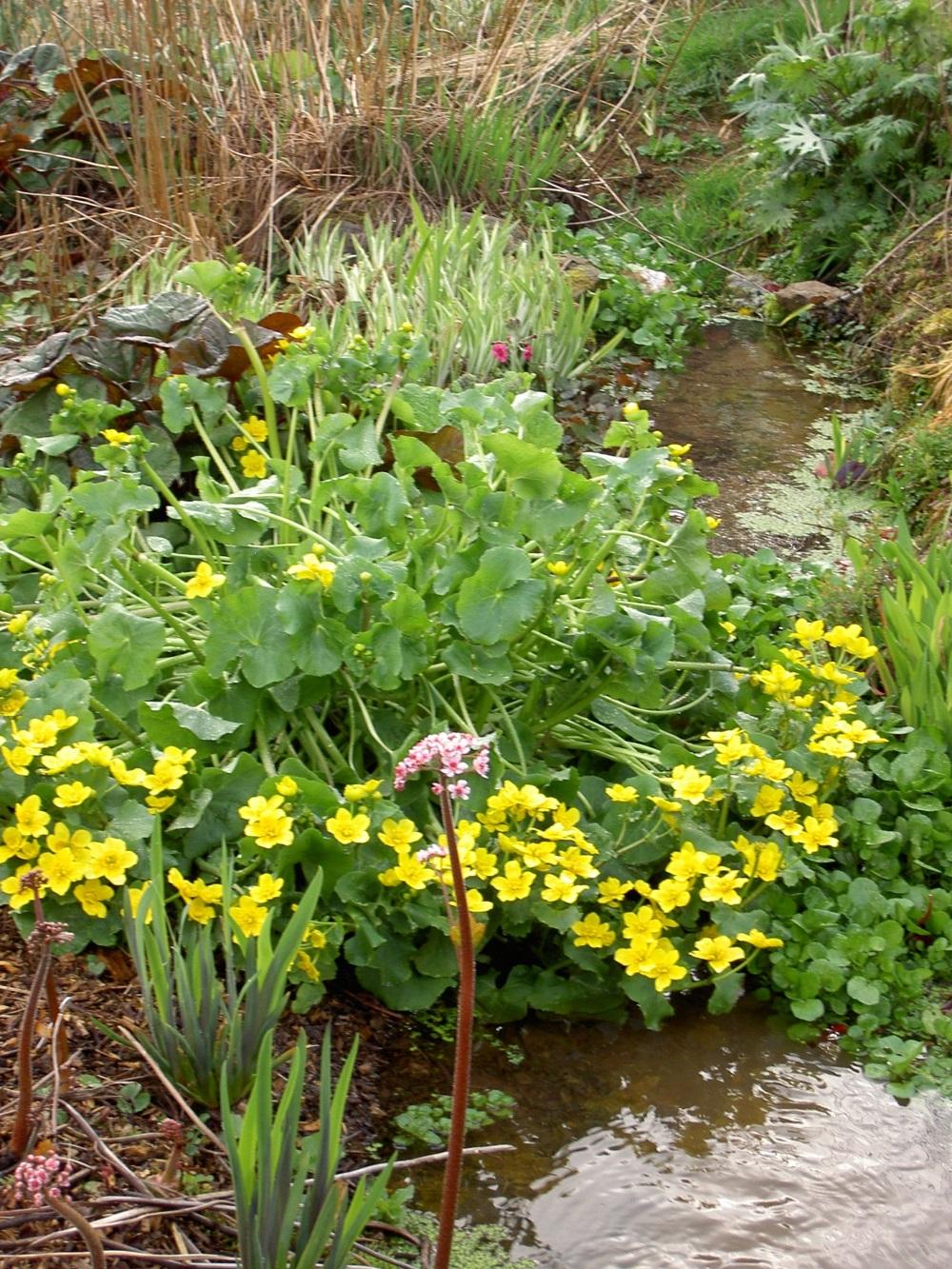 Caltha palustris - Marginal Pond Plants Pond Pla King cup or Marsh marigold