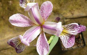 Iris versicolor Rowden Cadenza