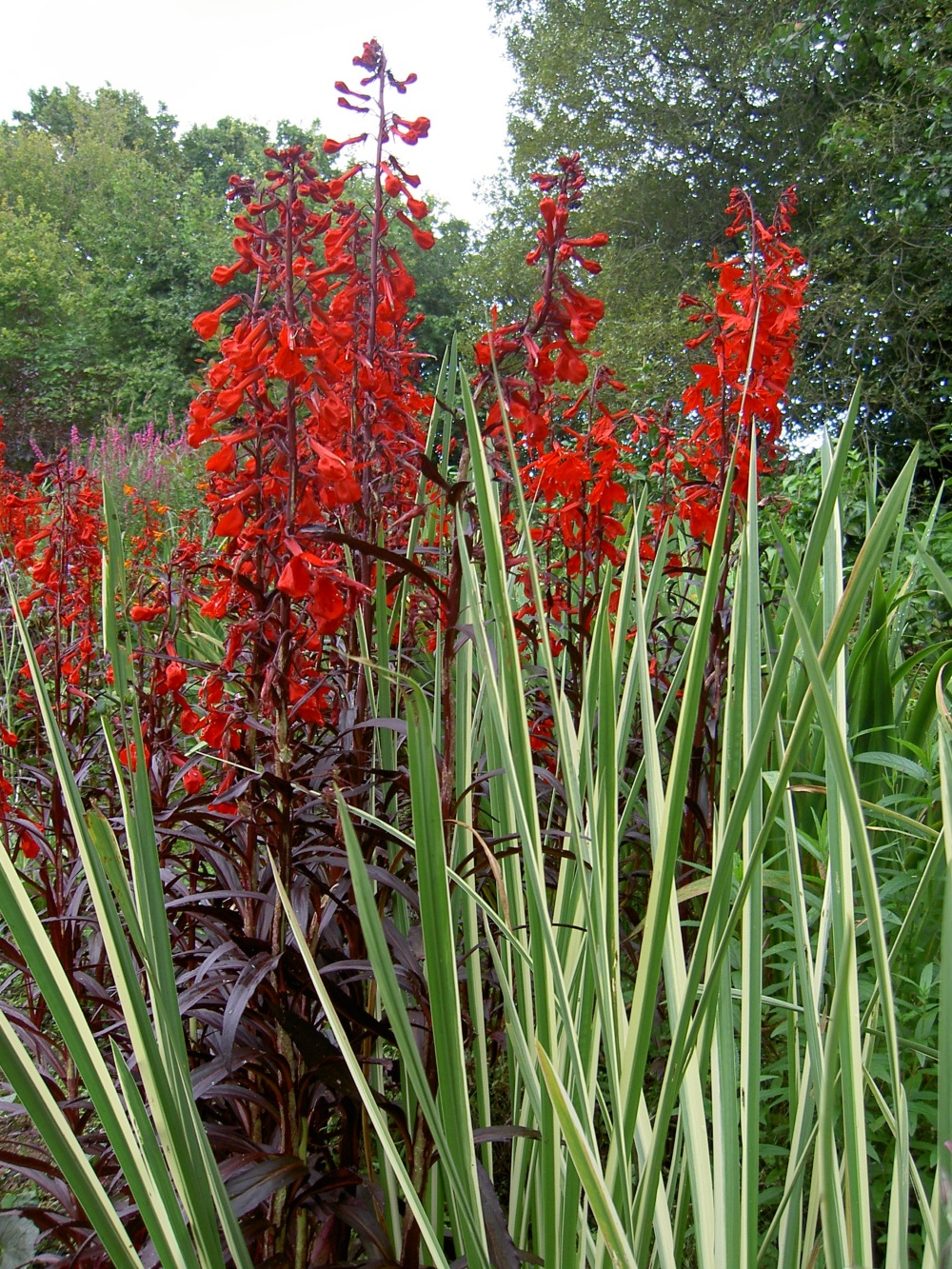 Lobelia Fulgens Queen Victoria Red Leaved Cardinal Flower Scarlet