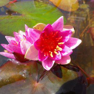 Pygmy Lilies