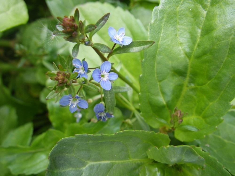 Veronica Beccabunga Brooklime Water Plants-9 cm Pond Plants - Marginal Pond Plants