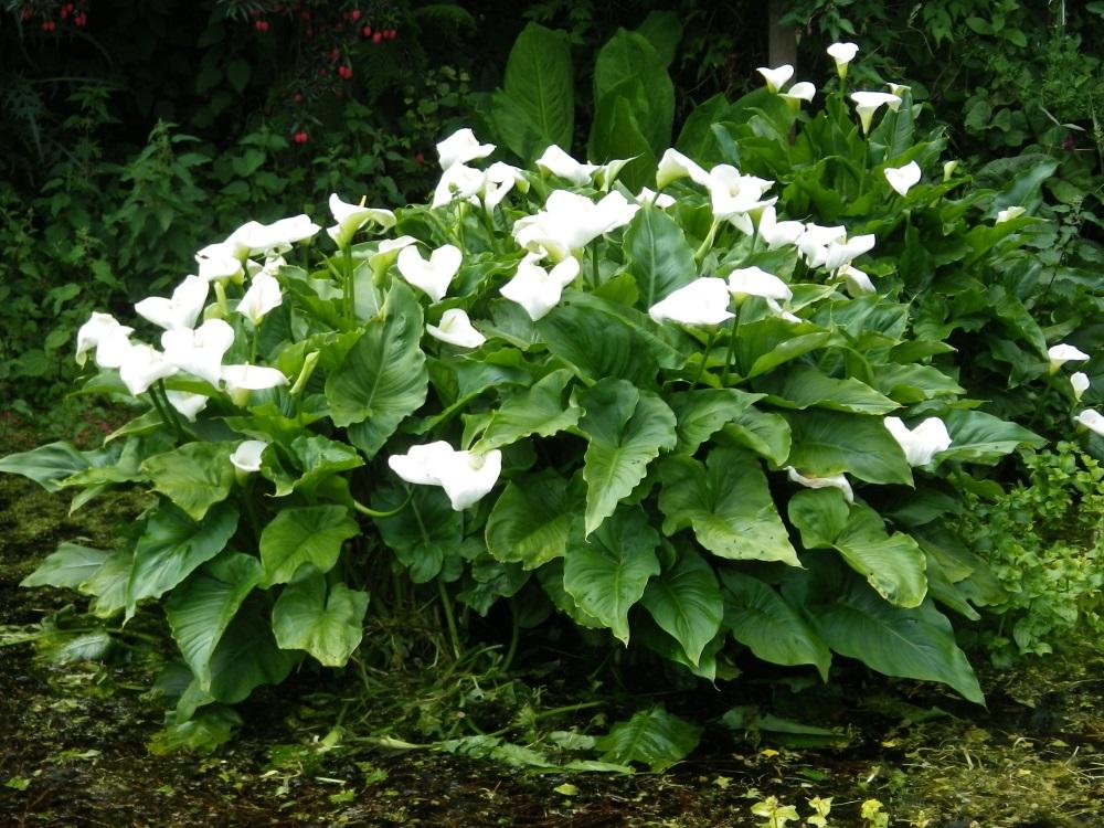 Arum Lillies 5 X 1 litre pots