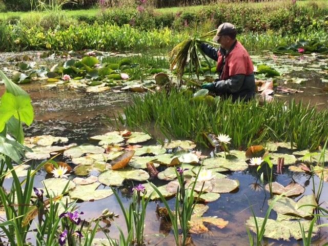 order pond plants online